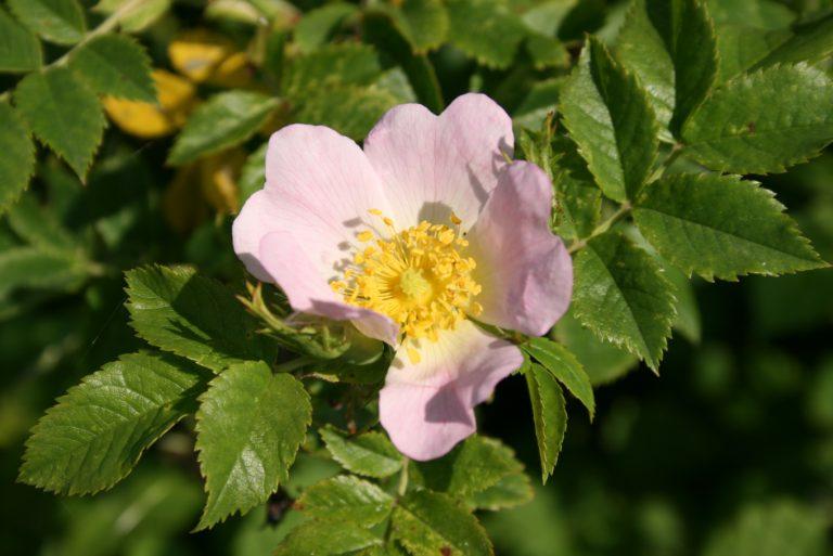 Rosa-canina-flower